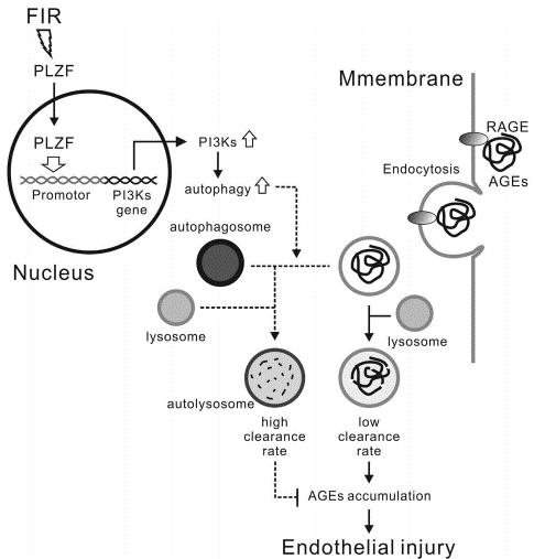 遠紅外線在糖尿病小鼠中透過PLZF調節的細胞自噬作用保護血管內皮細胞免受糖化終產物誘導的損傷